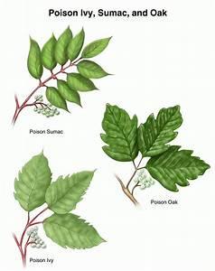 Poisonous Plants Poison Ivy Oak And Sumac Garden Hints