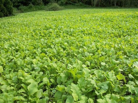 Brassica Deer Food Plot Turnips