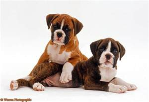 Cute Boxer Dog Puppy