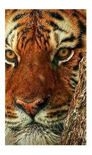 The Eye of a Tiger - Life Through a Siberian Tigers Eyes ...