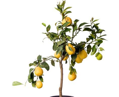lemon tree indoor citrus and fruit trees
