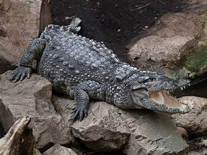Mugger Crocodile Facts And Pictures
