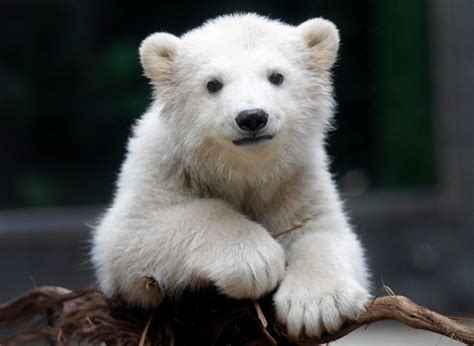 polar bear cub cute knut zoo adorable anori bears baby sister half famous three impossibly wuppertal germany most becoming