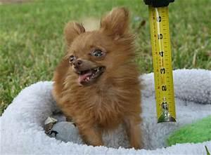 CrashOverRides: World's Smallest 'Adult' Dog