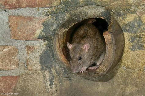 Bruine rat - Natuurfotografie