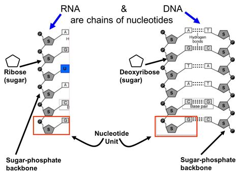 Nucleic Acids And Nucleotides The Building Blocks Of Life « The Catalyst
