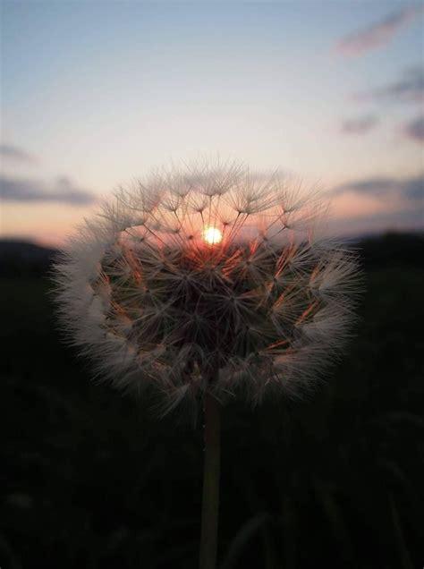 sunset dandelion aesthetic kh superbia nature