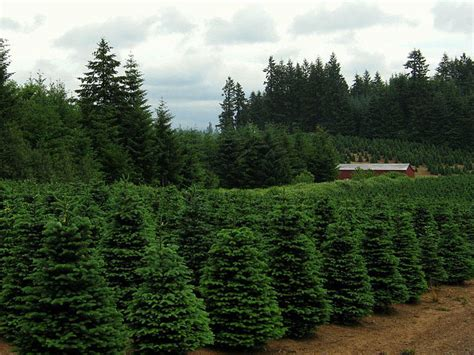 best christmas tree farms in aurora illinois trees delayed at northwest ports kuow news and information