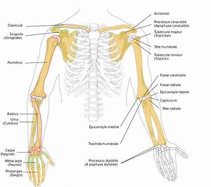 File Human Arm Bones Diagram-fr Svg