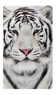 Free download White Bengal Tiger Wallpaper [2560x1440] for ...