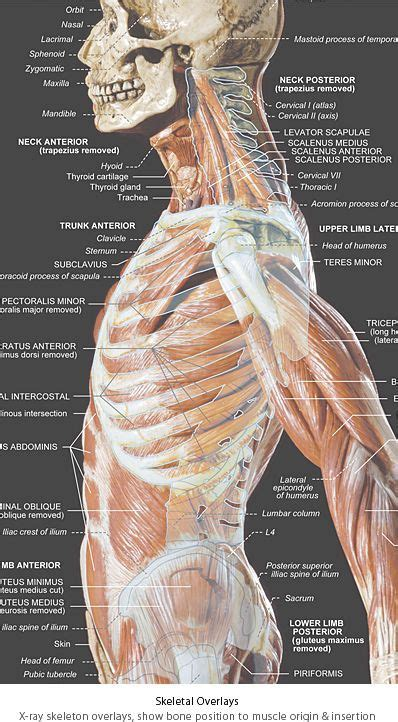 The ribs wrap around your body to your chest and connect to your sternum (breastbone). AnatomyTools.com | Human anatomy for artists, Rib cage ...