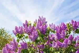Wann Blüht Flieder : der flieder die heilpflanze mit dem bet renden duft ~ Lizthompson.info Haus und Dekorationen