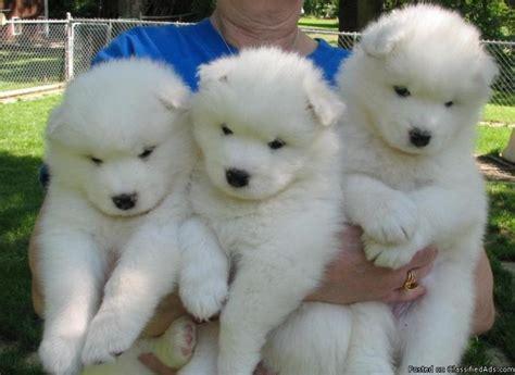 Simoid Dogs Samoyed Good Apartment Dog Samoyeds