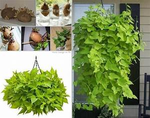 Patate Douce Plante : plante de patate douce la main verte planter patate ~ Dode.kayakingforconservation.com Idées de Décoration