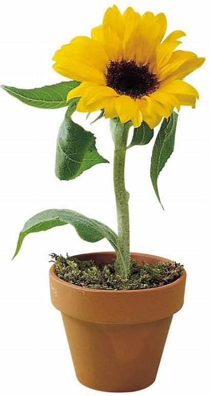 Sunflowers Pot Pots Forgetmenot
