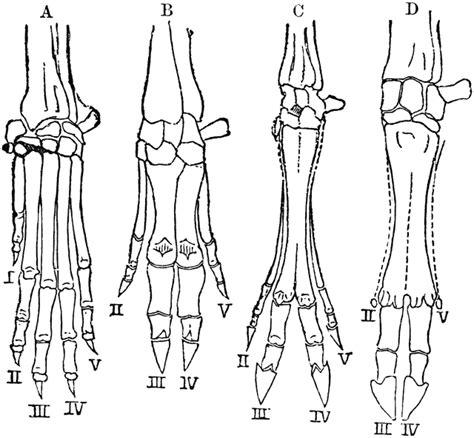 hands  vertebrates clipart