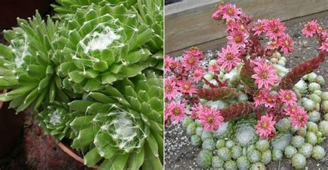 sempervivum arachnoideum cobweb houseleek world