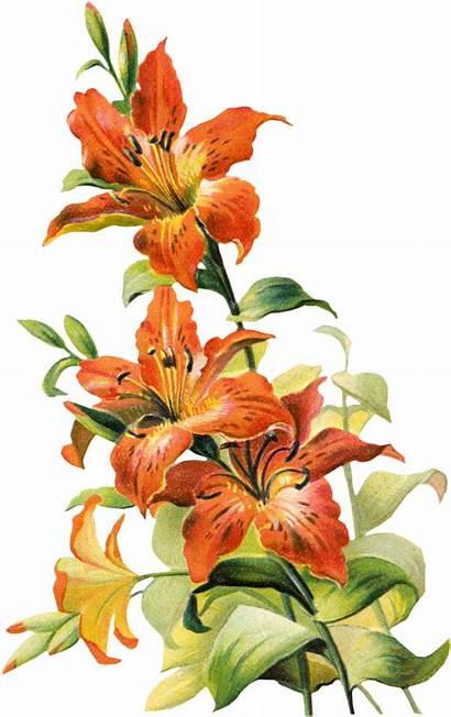 Clipart Orange Lilies Lily Tiger Clip Flower