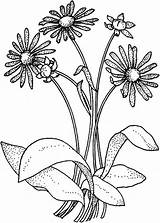 Coloring Daisy Flower Bouquet Wildflower Daisies Drawing Colouring Printable Colornimbus Getdrawings Roses Adult Searches Recent sketch template