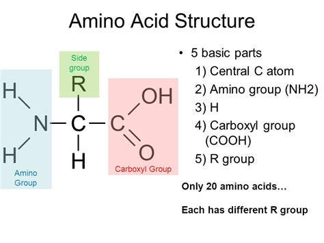 proteins side r oh amino h carboxyl n c