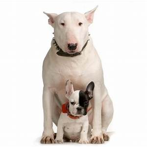 Bull Terrier dogs - Pets Cute and Docile