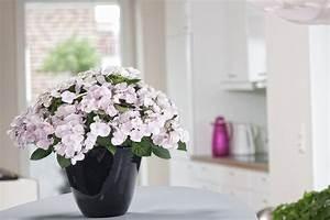 Hortensie Als Zimmerpflanze : hortensie als zimmerpflanze pflanzen f r nassen boden ~ Lizthompson.info Haus und Dekorationen
