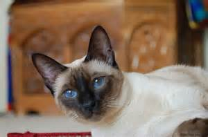 types of siamese cats types of siamese cat archives siamese cat spot
