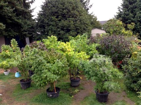A Guide To Stealthy Outdoor Cannabis Growing Zenpype