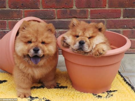 rare lion  chow chow puppies   home