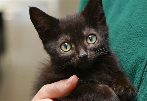 Black Cat Awareness Month is being celebrated by RSPCA Radcliffe Animal Centre as black cats ...