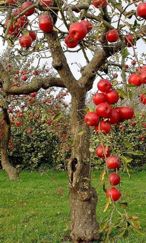 Best 25+ Apple Tree Ideas On Pinterest  Growing Apple