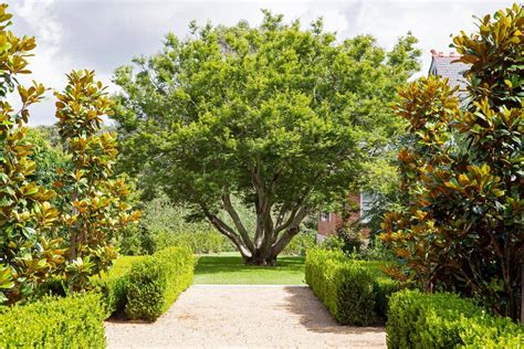 trees for garden evergreen magnolias our favourite trees peter fudge gardens