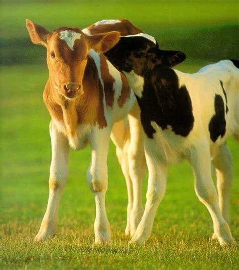 Vacas Imagens E Fotos Para Whatsapp Top Imagens