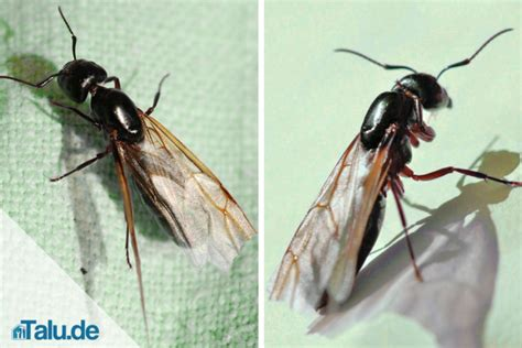 Fliegende Ameisen  So Werden Sie Die Plage Los Talude