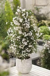 jasminum polyanthum en pot blanc d hiver espalier