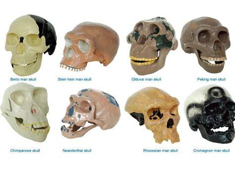 Skull Model Of 8 Kinds Human Race Manufacturer, Supplier