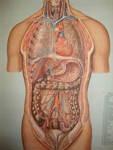 Anatomical  Medical Human Body Scrool Map  Poster - Organs Of The Chest And Abdomen