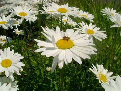 Daisy Computer Bee Bees Wallpapers Backgrounds Tall