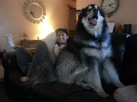 9 Huge Dogs That You Won't Believe Are Real | DogExpress