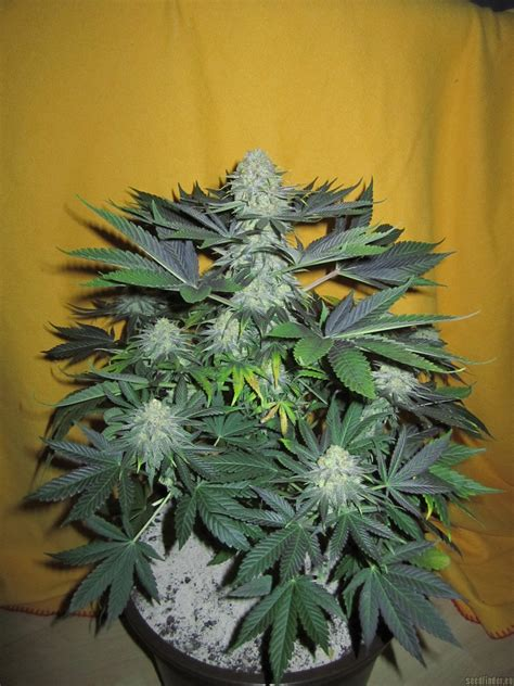 strain gallery pamir gold dutch passion pic