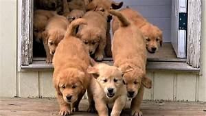 adorable quot river quot of golden retriever puppies flow into the