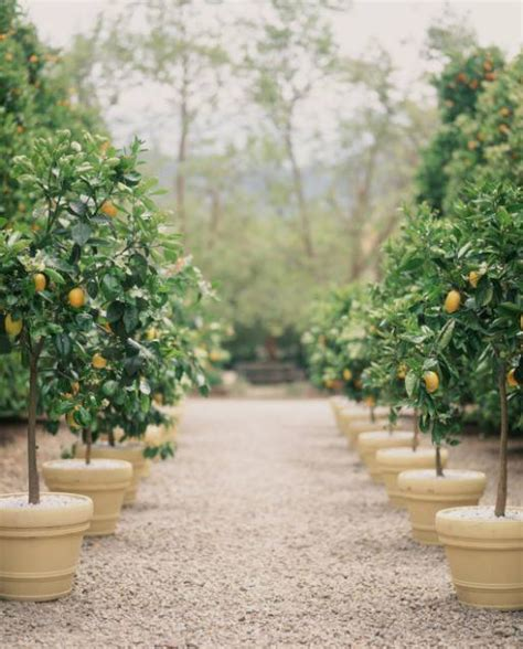 caring for lemon trees in pots when gives you lemons the potted boxwood