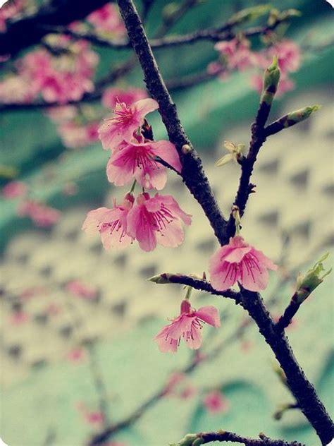 winter cherry blossom cherry blossom flower quotes cherry