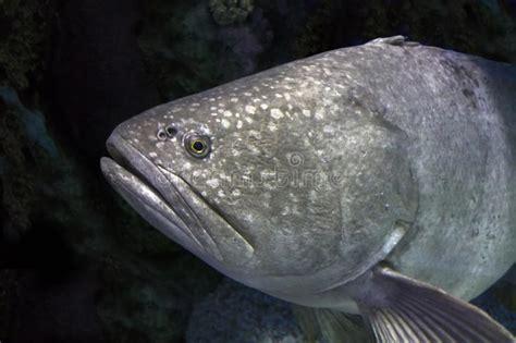 grouper giant fish portrait close fishing water
