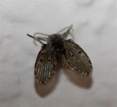 drain flies top 28 drain flies drain flies diptera psychodidae 1252025 drain fly clogmia albipunctata