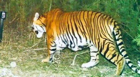 breeding tiger wildlife tigers assam sanctuary kaziranga india park national years brings activists bit cheer evidence bengal after successful among