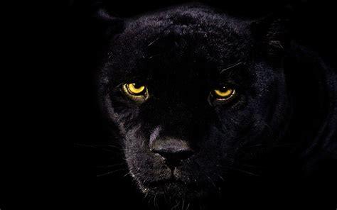 Black Panther Animal Wallpaper - rainforest black panther black jaguar animal wallpaper
