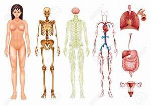 Organs clipart body system - Pencil and in color organs ...