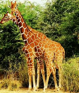 Reticulated giraffe - Wikipedia  Giraffe