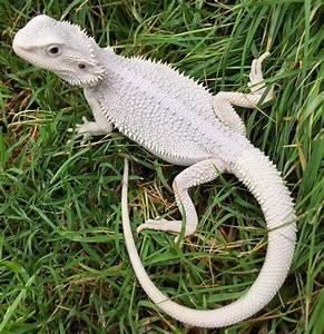 Bearded Dragon Albino | www.pixshark.com - Images ...